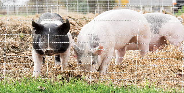 Getting Started with Pastured Pigs
