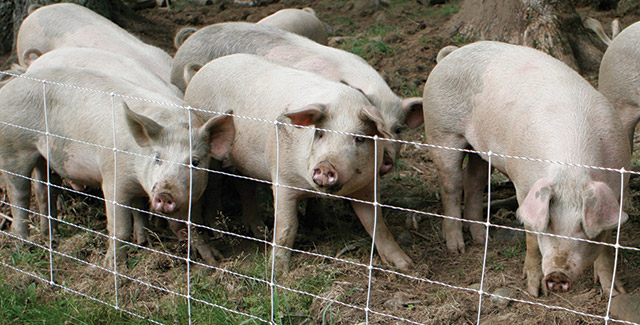 Our Favorite Fence For Pastured Pigs