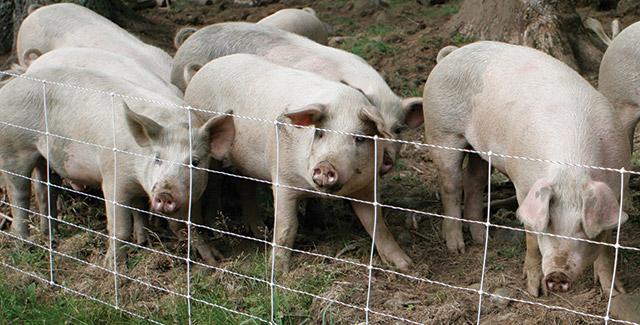 Pig QuikFence®—Keeps free-range pigs in!