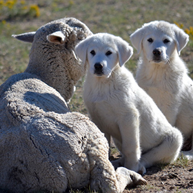4-month old pups bonding with ewes.