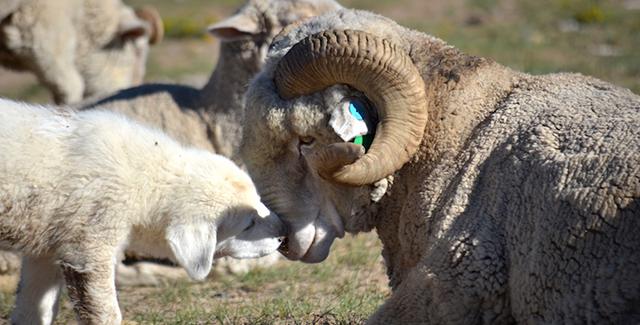 Livestock guardian dog with bighorn sheep