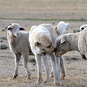 Attentive adult livestock guardian shows affection.