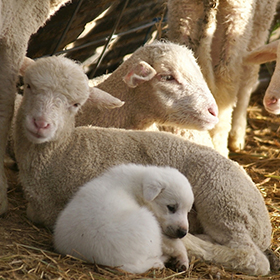 Weaned guardian pup bonding with sheep.