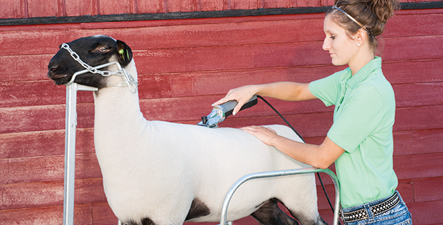 Show Clipping and Sheep Shearing