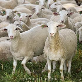 500 Premier Ewe Lambs for Sale