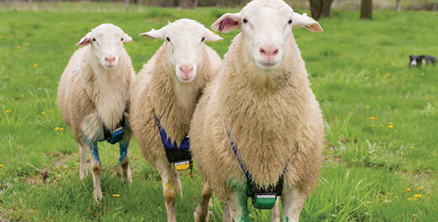 Rams using marking harnesses for breeding ewes