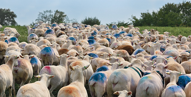 Sheep marked for breeding