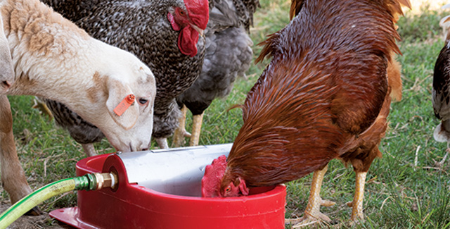 Clean, constant water for poultry and chickens