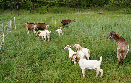 Goats can be contained by electric fence with proper training.