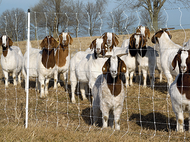 Select The Best Electric Fence Design For Your Goats