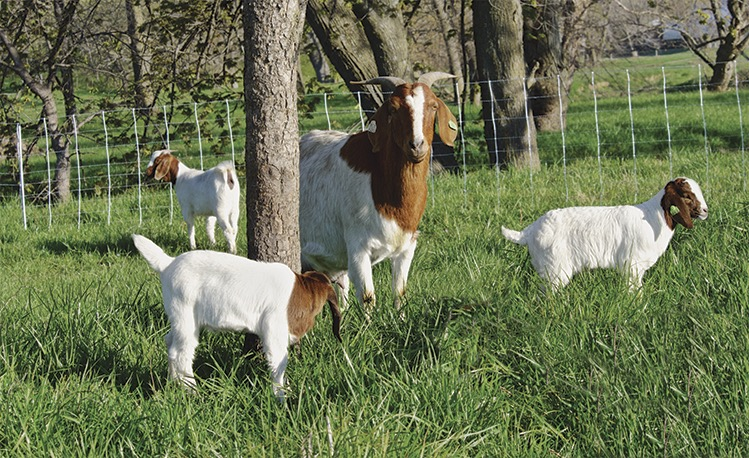 Electric Fence Can Electric Fence Be Used For Goats
