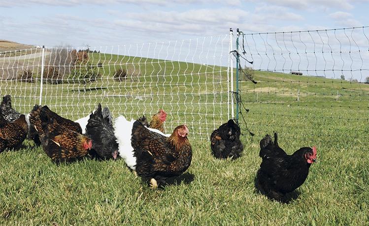 Chicken & Poultry Supplies - Premier1Supplies