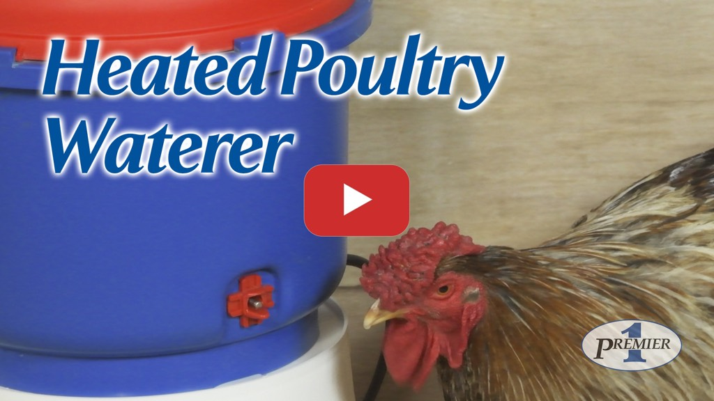 Training chickens to a Heated Poultry Waterer