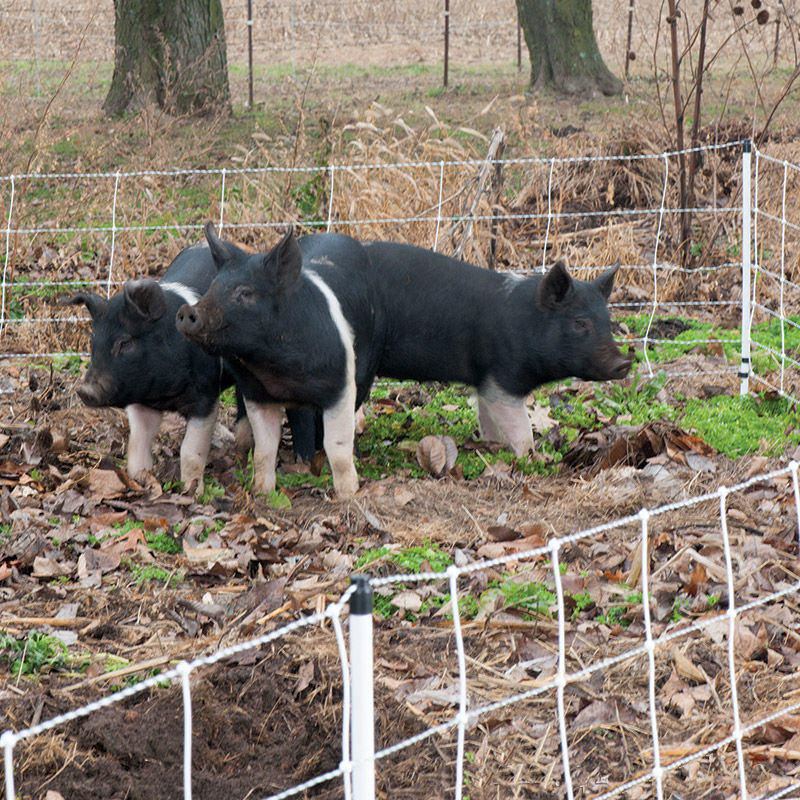 Der Orgasmus eines Schweins dauert 30 - Der versaute