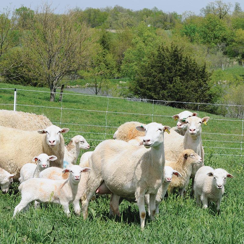 Sheep Quikfence U00ae 6  35  24 For Sheep