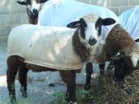 Internal parasites can narrow fiber diameter, creating a weakness in the fleece, Dee Heinrich, Peeper Hollow Farm, says of her fiber flock.