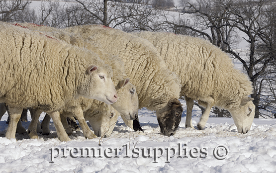 Premier ewes searching for stockpiled forage in January 2007. Our wooled ewes spend the winter outdoors, eating stockpiled forage and eventually baleage.