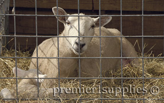 A ewe resting in a lambing jug at Premier.