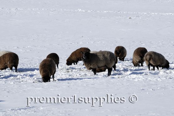 Our Black Welsh flock hard at work finding stockpiled forage beneath the snow.