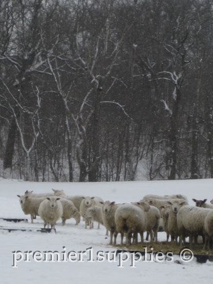 Despite the snowfall, the ewes patiently await their dinner. It's a good thing they have thick wool coats to keep them warm.