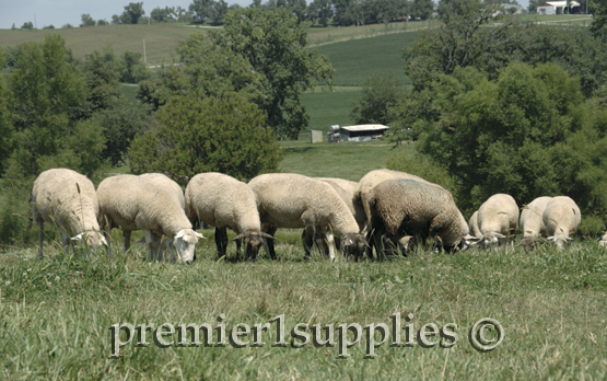 Premier's ewe flock overlooking the northeast portion of the farm.