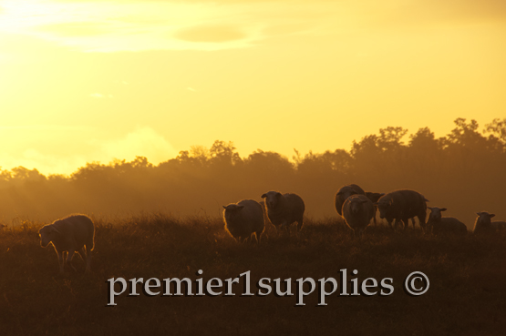 Coming in from a busy day of grazing with the sunset on their backs.