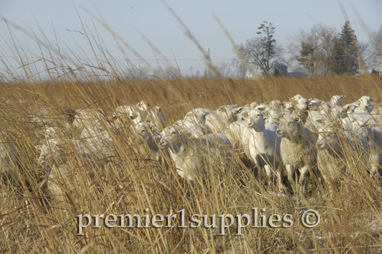 Part of our ewe-flock enjoying a late winter's day in some former CRP ground.