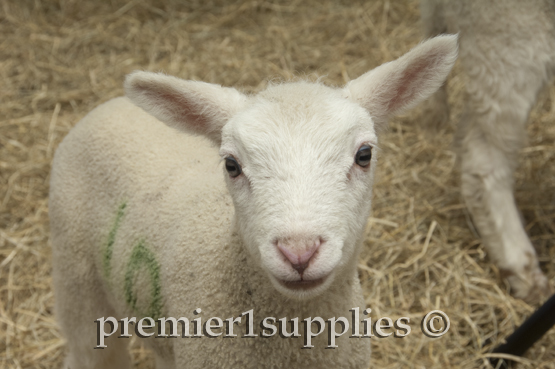 Newborn lamb with his Sprayline