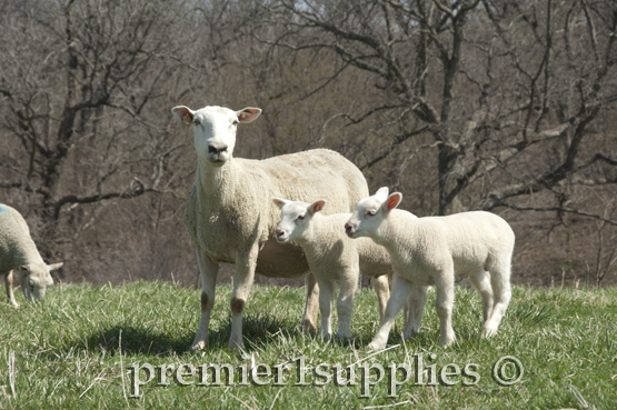 A Border Leicester/Ile de France ewe taking her twins on a stroll through the pasture.