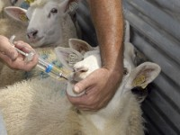 Using a small flock drencher in a treatment chute.