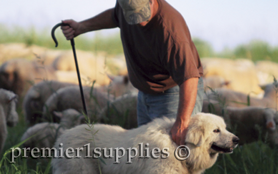 Premier consultant Gordon S with his Great Pyrenees guardian and Ile De France flock.