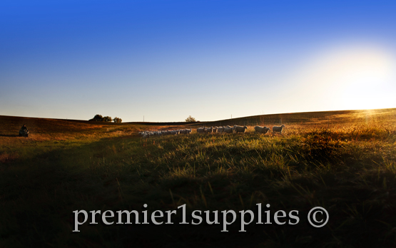 Wooled ewe lambs on Premier's North Farm one early fall morning. These ewes are mostly of a Border Leicester Ile De France mix.