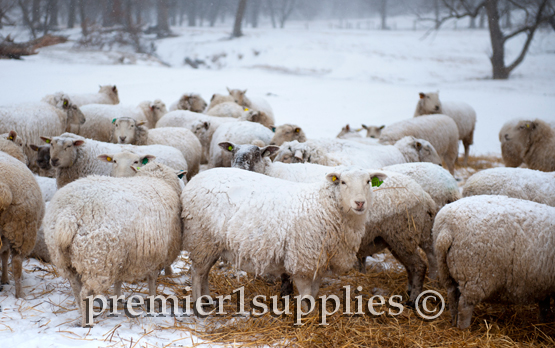 Premier's wool flock on the home farm. These ewes were bred to terminal sires starting October 30th. They wintered outdoors and were fed baleage.