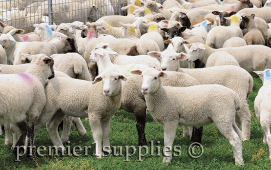 Lambs in the handling yards.