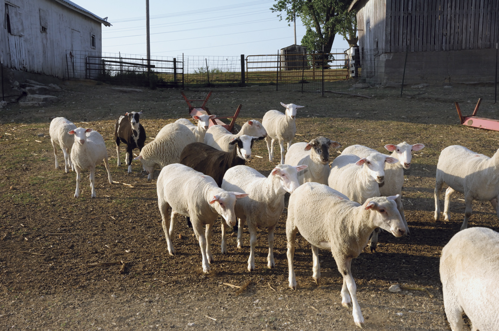 A commercial lamb producer's system in NE Iowa –