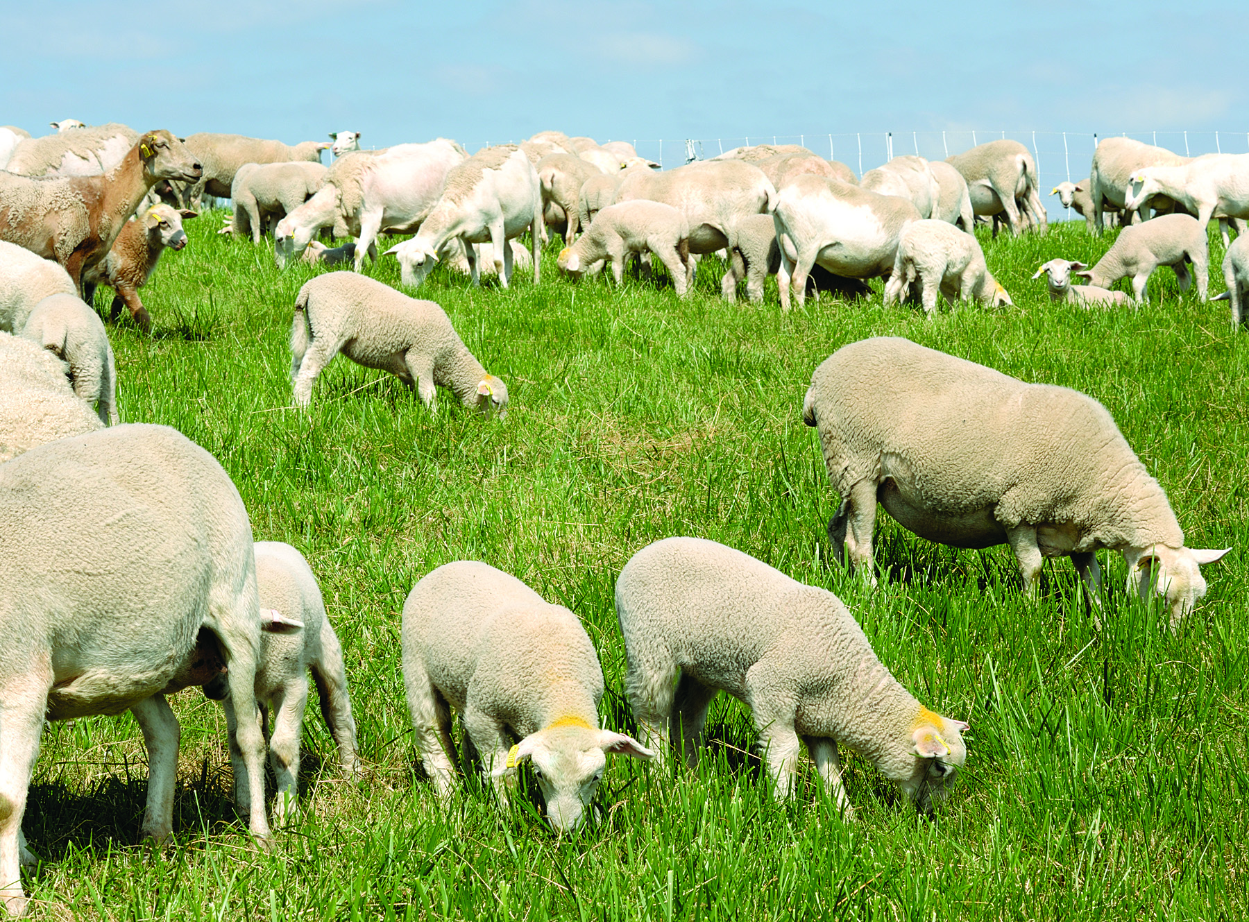 advantages of rotational grazing premier1supplies sheep guide