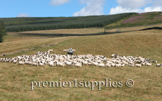 Using a 4 wheeler and dogs to move sheep in the hills of south Scotland.