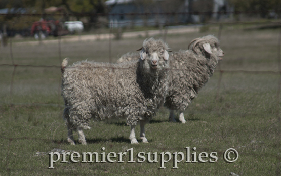 Mohair goats in the Hill Country of Texas in the spring.