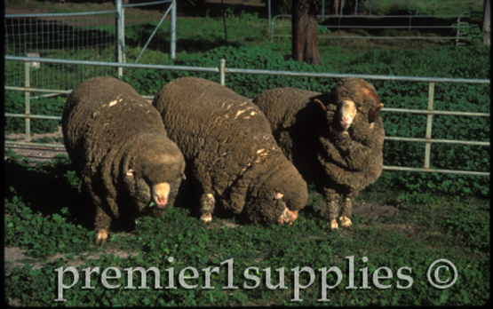Merino stud rams in Queensland, Australia.