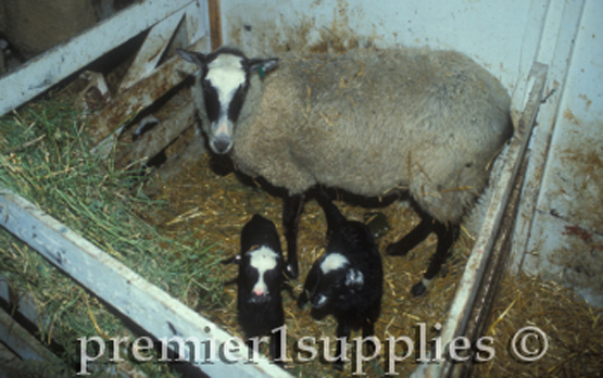 Romanov ewe with her lambs. They are very prolific so this ewe is unusual in having only 2 lambs.