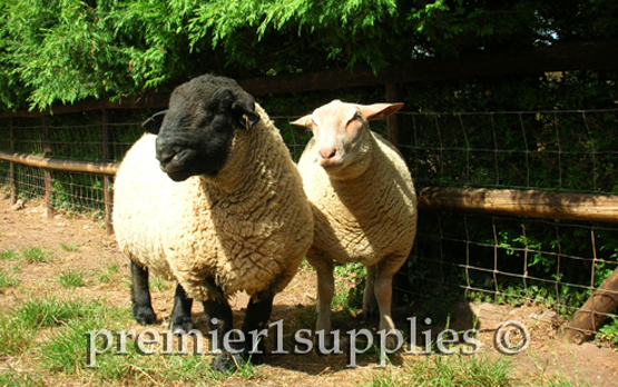 Suffolk pedigree ram near Great Malvern in England. 2006. Not sure of the breed of the smaller sheep.
