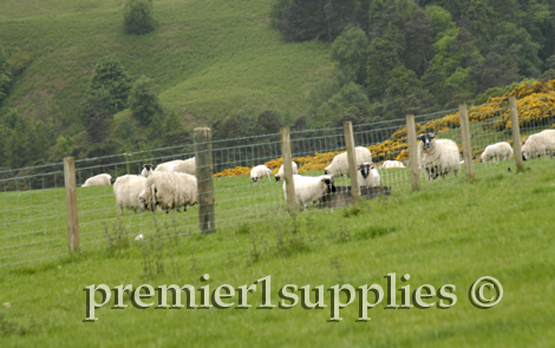 Hill ewes in Scotland in June 2007. Yellow shrub in the background is gorse-a thorny nasty plant.
