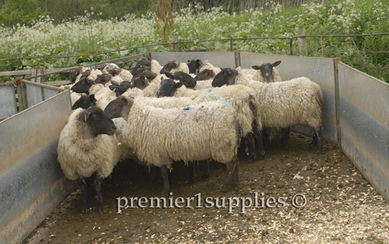 "Ewes about to be shorn in Scotland in early June. Note the solid walls (so the sheep can't see out). This is part of a ""bugle"" layout with the corral becoming ever narrower."
