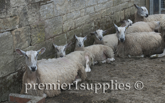 Another view of Hans Porksens Bluefaced Leicesters. Like all sheep of this breed they are unusually long and tall— but not muscular.