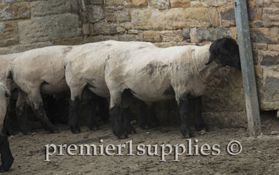 Hans Porksen's Suffolks. For years these sheep were at the top of the breed for EPD's.