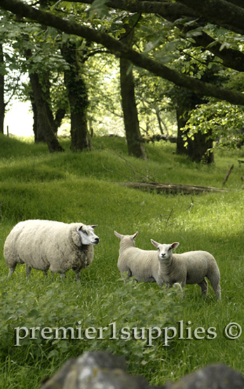 Beltex ewe and 2 lambs at the same farm in England's Peak District. Great set of lambs.