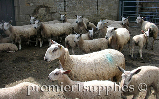 """Blueface Leicester ewes and lambs on Hans Porksen's farm in northern England in June 2007. It was a stop on Premier's first sheep tour. They aren't as pretty as some breeds. Their rams are mated with hill sheep (Scottish Blackface and similar) to produce what is called """"Mule"""" ewe lambs. This crossbred female was for years the gold standard for British lowland sheep farmers— prolific, lambed on its own, needed minimal care, milked well, good frame. It was/is mated to terminal sires like the Suffolk, Hampshire and MeatLinc."""