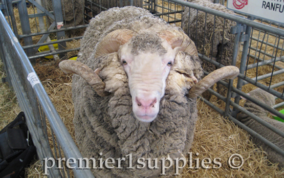 A Corriedale ram at the Royal Christchurch show in New Zealand. Also in 2008.