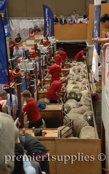 Shearing contest at the Royal Christchurch show in New Zealand in 2008. This photo shows sheep held just behind the shearing machines (on the left) waiting to be shorn.