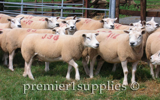 Texel ewes in England in early August of 2006